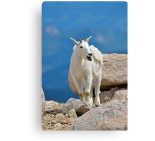 Mountain Goat Tongue Canvas Print
