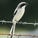 SHRIKE by TomBaumker