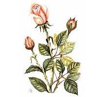 Vintage Flowers: Rose  Photographic Print