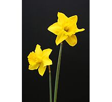 Daffodils in full bloom Photographic Print
