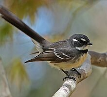 Grey Fantail with Bokeh by TheGreatContini