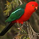 Male King Parrot by TheGreatContini