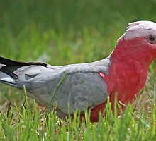 Galah Eating Grass by TheGreatContini