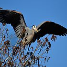 Great Blue Heron Leaving the tree tops by imagetj