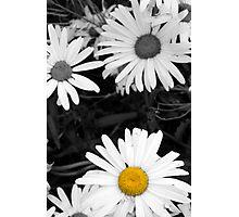 single wild irish daisy in color Photographic Print