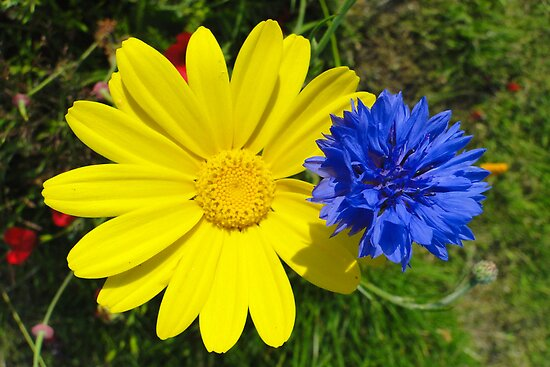 Cornflower and Corn Marigold by Barrie Woodward