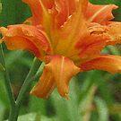 Tiger Lily by kkphoto1