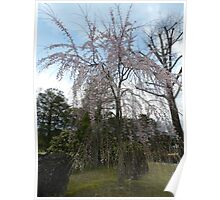 Sakura Tree in Japan Poster