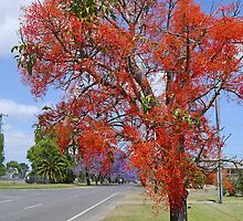 Illawarra Flame Tree, Grafton N.S.W. Australia by Margaret  Hyde