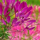 Beautiful Cleome by lorilee