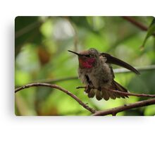 Anna's Hummingbird (Juvenile)~ Morning Stretch Canvas Print