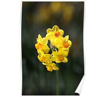 Jonquil Cluster Poster