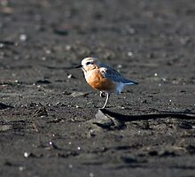 NZ Dotterel, Auckland, New Zealand by SDStinchcombe