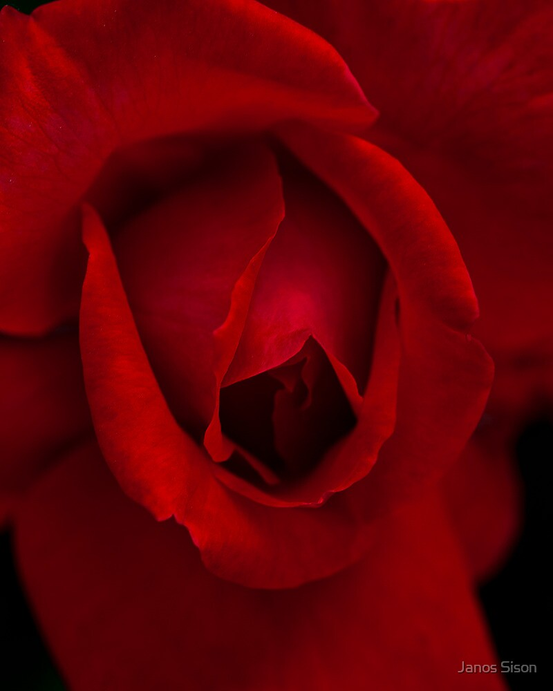 rose by Janos Sison