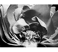 Rose Halved Photographic Print