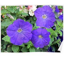 lovely coloured petunia Poster