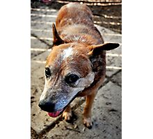 Sneaky Sam the Cowdog Photographic Print