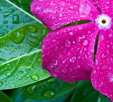 Rainy Vinca by Adam Bykowski