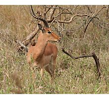 Impala Deer with little companion in Umfolozi SA  Photographic Print