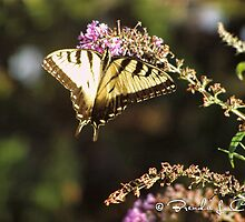 Tiger Swallowtail by 24Jupiter