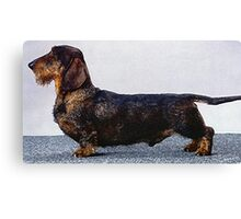 Wire Haired Dachshund Dog Portrait  Canvas Print
