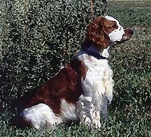 Irish Red & White Setter Dog by Oldetimemercan