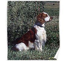 Irish Red & White Setter Dog Poster