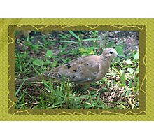 Dove in sun's spotlight Photographic Print