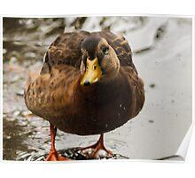 Wet female mallard duck Poster