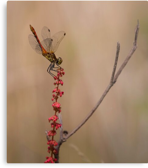 Four Spotted Chaser by Patricia Jacobs CPAGB LRPS BPE4