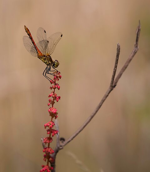 Four Spotted Chaser by Patricia Jacobs DPAGB LRPS BPE4