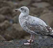 The Manx Gull by VoluntaryRanger