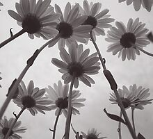 Daisies B&W by Photography By Andrea