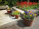 Pansies in a Row by Lucinda Walter