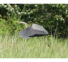Harold the heron to the rescue Photographic Print
