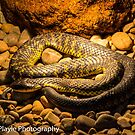 Tiger Snake by Rick Playle