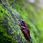 Tree frog (  BoophisSp goudoti )  Isalo  Madagascar by john  Lenagan