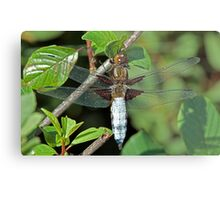 Broad bodied chaser Metal Print