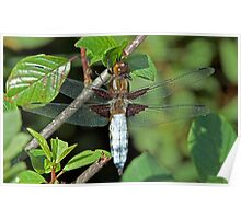 Broad bodied chaser Poster