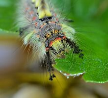 Vapourer Moth Caterpillar Macro by relayer51