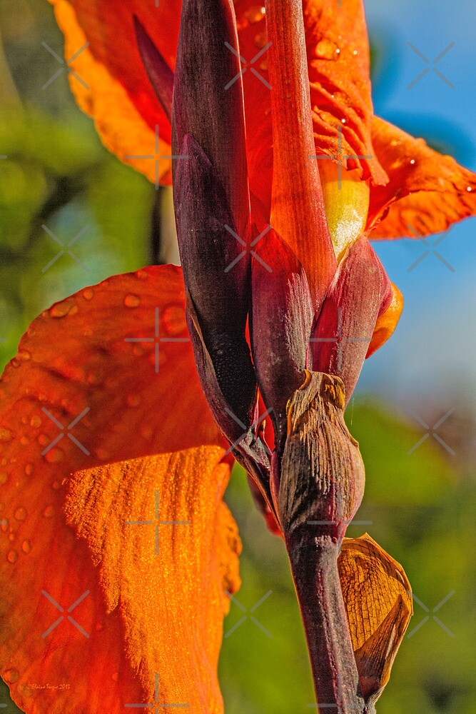 Canna Lily by Elaine Teague