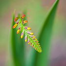 Crocosmia by Jacky Parker