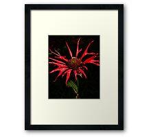 Scarlet Bergamot Framed Print