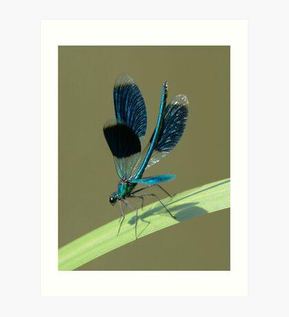 Calopteryx splendens Art Print