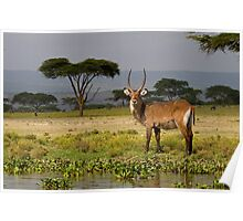 Male waterbuck Poster