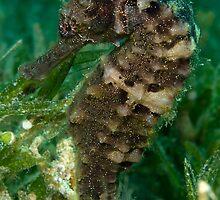 Dark spotted seahorse by Valerija S.  Vlasov