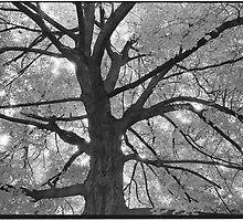 Noble Avenue Tree by Barbara Wyeth