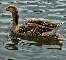 Greylag goose wroxham broad by Avril Harris