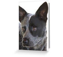 Australian Cattle Dog Greeting Card