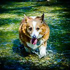 Corgi in the River by myself22889